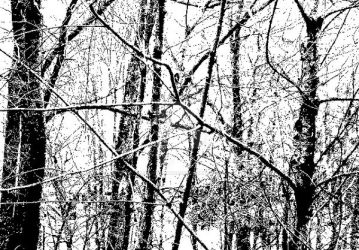 Black and White Woods by TreasuredMemoriesNH