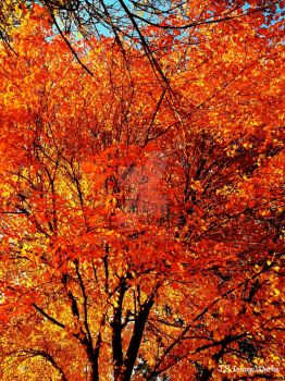 Fall Colored Tree by LSPhotographyStore