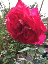 Rainy Rose by Torrentially