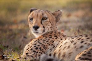 Cheetah 2 by EdgedFeather