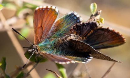 Mating Copper Wing Butterflies by Chezza932