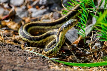 Common garter snake by Xyfray