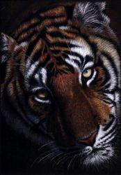 Tiger Face in Colour Pencil by rasberry6