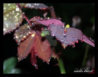 Gorgeous Dew Drops on Leaves by Silver-Dew-Drop