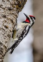 Yellow Bellied Sapsucker - Male by JestePhotography