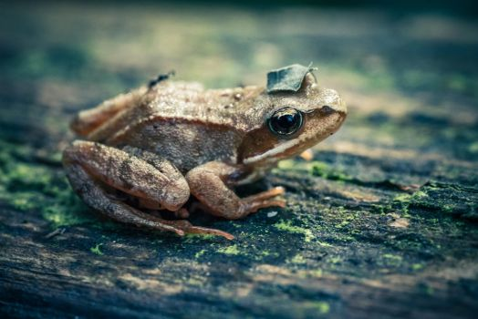 Frog with a hat by Akxiv