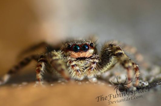 Marpissa Muscosa - Colorful Female :) by TheFunnySpider