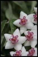 Hoya Bella by Xerces