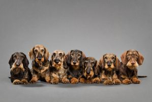 The dachshund army by Wordup