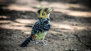 Barbet by AnneMarks