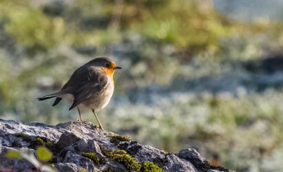 Ready for winter - Erithacus rubecula by luka567