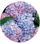 Mountain hydrangea by Yamio