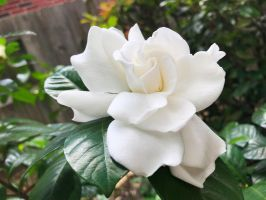 Gardenia by AnonymousRabbitLover