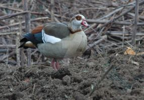 Egyptian goose 2 by dannykaye