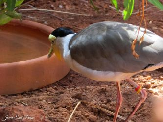 Masked Lapwing by Soll-DenneGallery