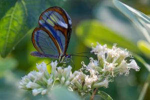Glasswing butterfly by boanergesjr