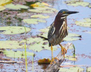 Green Heron by Kilsley