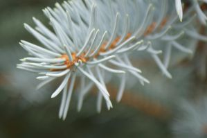 Blue Spruce Close-Up by Kitty1205