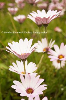 An Osteospermum Bed by Hitomii
