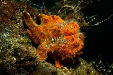 Painted frogfish (Antennarius pictus) by Holophite