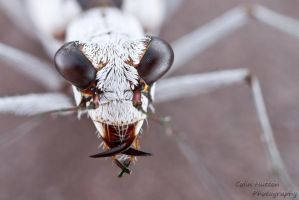 Moustached Tiger Beetle - Ellipsoptera hirtilabris by ColinHuttonPhoto