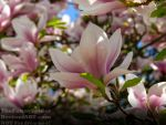 Magnolia-x-soulangeana Blossom- Germany 2018 by TheFunnySpider