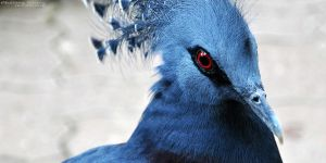 Victoria Crowned Pigeon by Chelsey-Dunn
