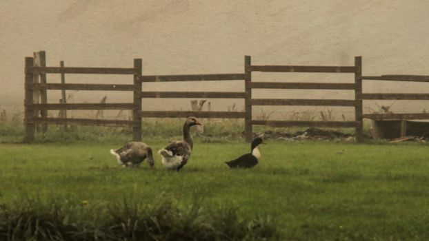 Ducks on a foggy day. by jennystokes