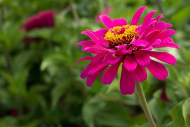 Magenta Zinnia by artisticimposter