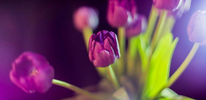 Tulip by WillCook