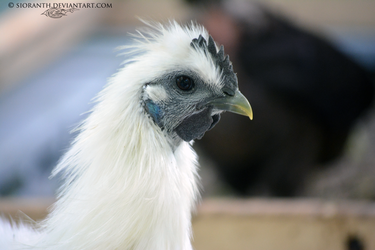 Silkie Roo by sioranth