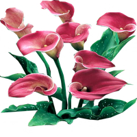 Pink Persuasion Calla Lilies by LilipilySpirit
