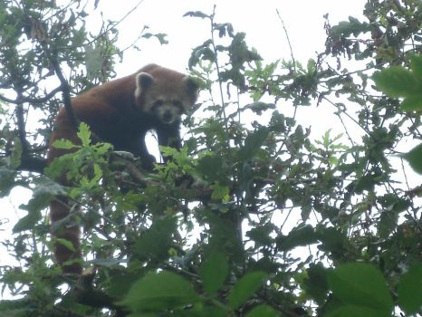 Red Panda watches you. by DukeDragoon