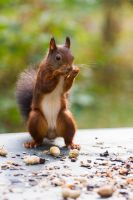 Male Squirrel by AngelaLouwe