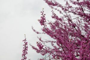 Cherry Blossoms Stock 4 by FairieGoodMother