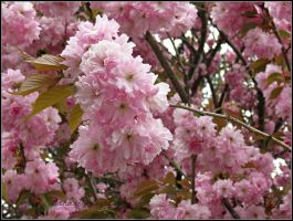 Japanese Cherry Blossoms by Michies-Photographyy
