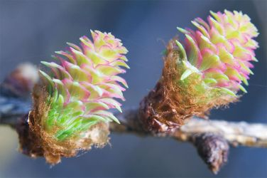 Psychodelic larch by Dunadan-from-Bag-End