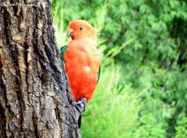 Male King Parrot by BreeSpawn