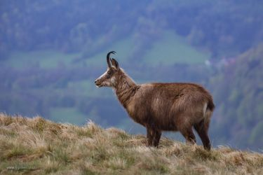 Chamois sur le Hohneck by jypdesign