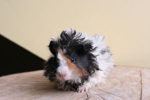 Alwin the Guinea Pig by Lissyah