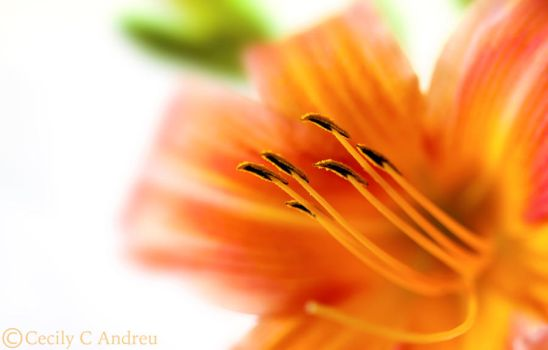 Daylily by CecilyAndreuArtwork