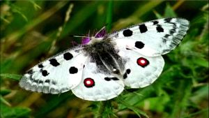 Unknown Apollo Butterfly In Archipalago by eskile