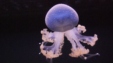 Another White Spotted Jelly Fish by thesmallwonder