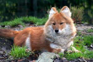 Dhole by Applinna