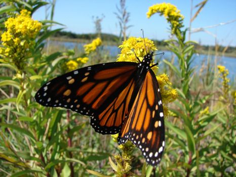 Monarch Butterfly, Cape May NJ by guaharibo
