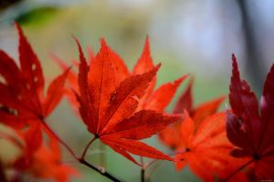 Japanese Maples by WickedOwl514