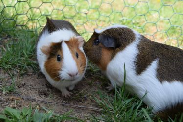 Guinea Pigs by Aponi06