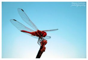 Red Dragonfly by mauro-goncalo
