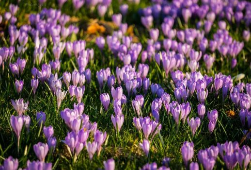 crocus carpet by acoresjo88