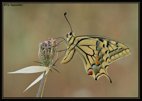Papilio Machaon Syriacus II by sapog